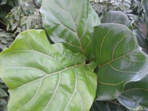 ficus lyrata fiddle leaf fig house plant is very trendy and has huge evergreen glossy leaves
