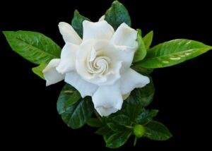 Gardenia houseplant  house plant with white highly scented flower