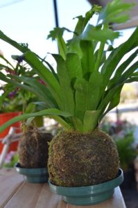 kokedama fern with its roots wrapped in moss in the Japanese style of displaying house plants