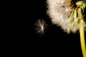 Dandelion clock allows you to make a wish or a new year's resolution