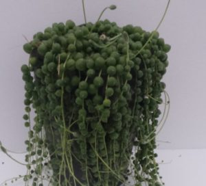 senecio rowleyanus house plant houseplant is known as the string of pearls