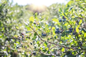 blueberry bushes like acid soil with a low pH level
