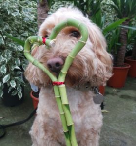 cockapoo dog posing with a lucky bamboo house plant shaped into a heart