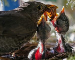 parent thrush bird feeding her young chicks with worms