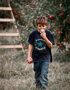 boy eating apples picked from an apple tree