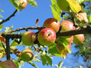 Apple branch bearing red and green apples in summer against a blue sky