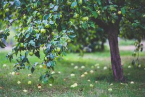 Apple trees need to be pruned but how do you do it?