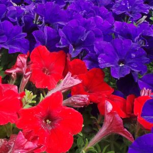 petunias in red and purple summer flowering annuals