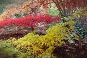 Japanese Acer small tree with attractive foliage and good autumn colour