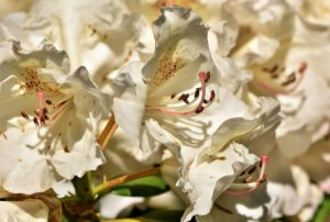 Rhododendron shrub flowering in white