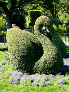 topiary form of a swam clipped from a box shrub