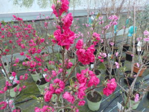 Miniature peach tree with pink blossom