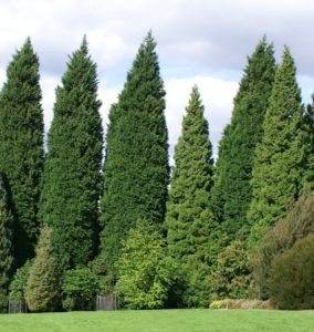 tall conifers much larger than surrounding trees leylandii