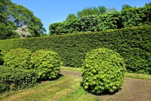 conifer hedge, neatly trimmed