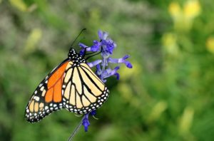 Salvia with monarch butterfly pollinator
