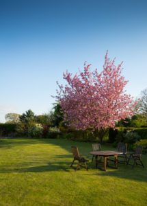 Green lawn with flowering ornamental tree with pink blossom