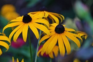 coneflower or yellow rudbeckia