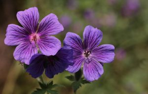 hardy geranium blue purple flower