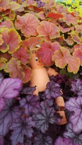 heuchera are foliage plants that come in a range of colours