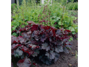 Heuchera 'Palace Purple'