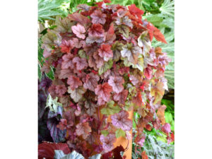 Heucherella 'Redstone Falls' is a lovey, cascading type
