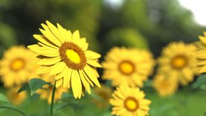 Sunny yellow flowers of Helianthus