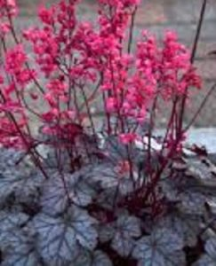 heuchera coral bells flowers
