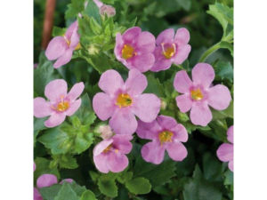 Pink Bacopa