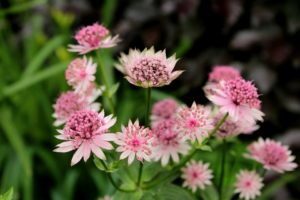 pink Astrantia which is known as Hattie's pincushion