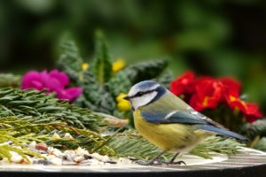 blue tit in a garden with polyanthus flowers