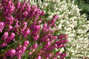 erica heather in pink and white