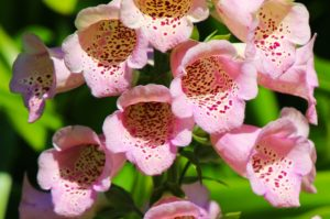 Pink foxglove botanical name Digitalis