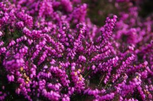 pink flowers on heather plant