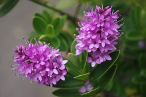 hebe shrub with pink flowers