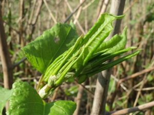 Fresh growing tips of Japanese knotweed