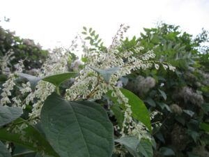 Japanese knotweed white flowers