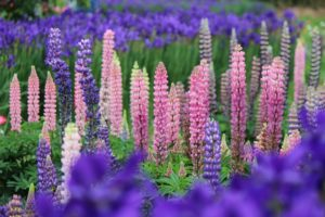 flowering lupins and iris in shades of purple, pink and white