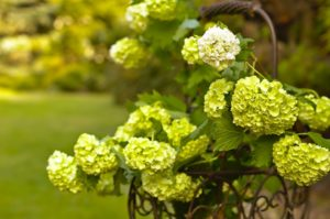 Viburnum flowering in spring