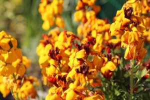 Yellow, gold and orange wallflowers