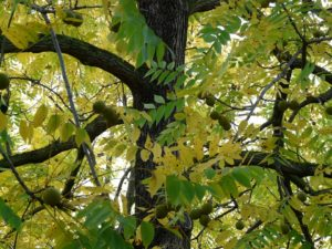 the black walnut tree with fruits and leaves