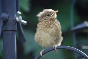 baby robins are brown and speckled