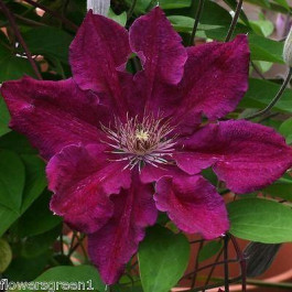 pinky purple clematis called Ernest Markham