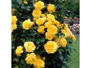 Rosa 'Golden Showers' has yellow blooms
