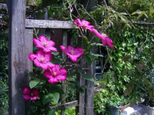 Pink Clematis climbing up a timber support