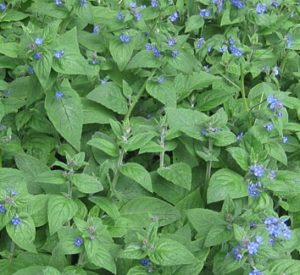 green alkanet Pentaglottis sempervirens, plant with blue flowers