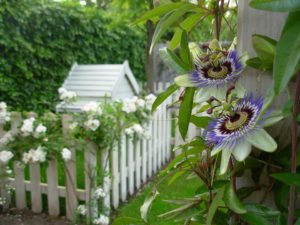 Passion flower Passiflora and roses