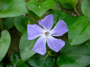 Periwinkle groundcover plant