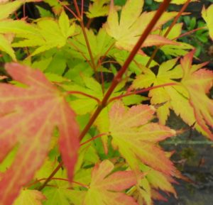 palmate leaves of an acer tree