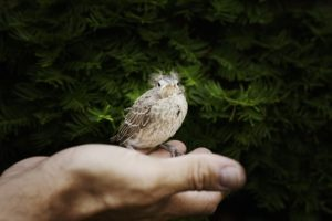 baby fledgling on a person's hand