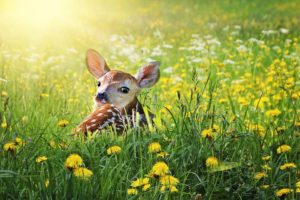 deer fawn baby deer in long grass